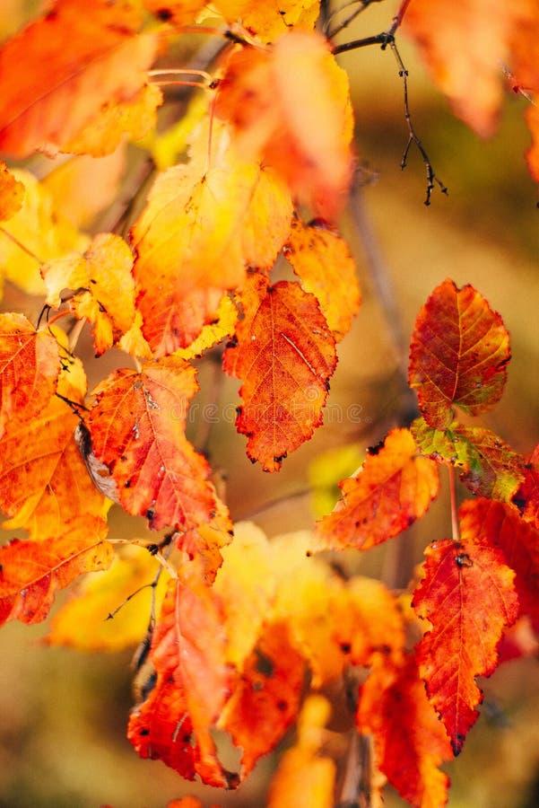 La struttura del fondo di giallo lascia Autumn Leaf Background urlo immagine stock libera da diritti