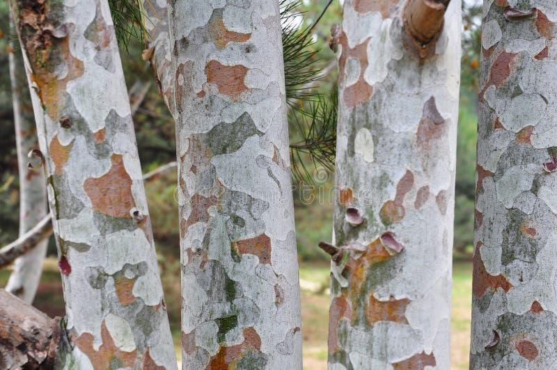 La struttura della corteccia di albero fotografia stock