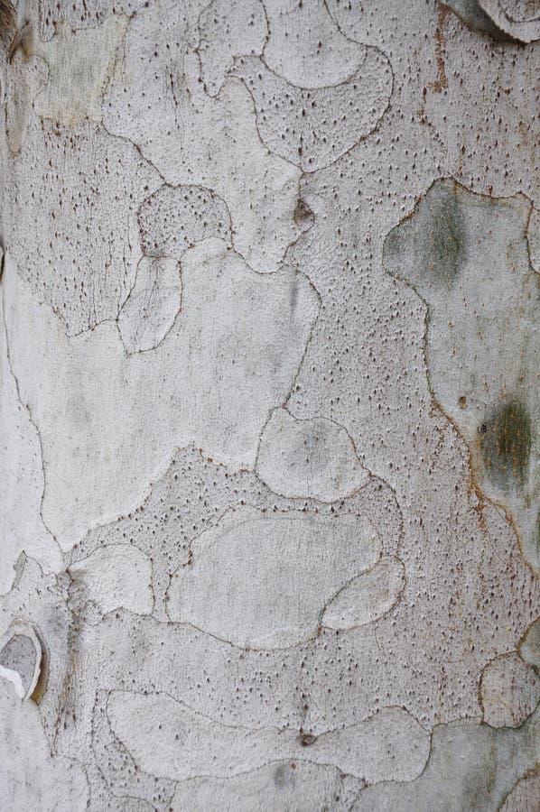La struttura della corteccia di albero fotografia stock libera da diritti