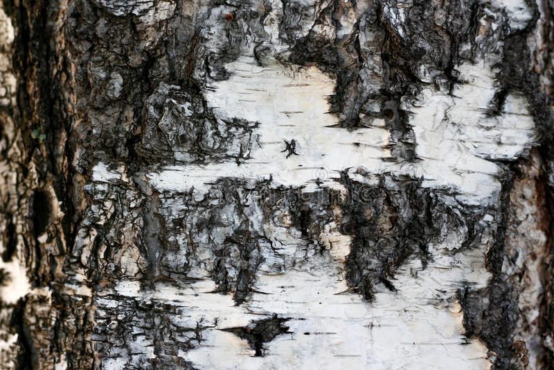 La struttura della corteccia di albero Betulla bianca closeup fotografia stock libera da diritti