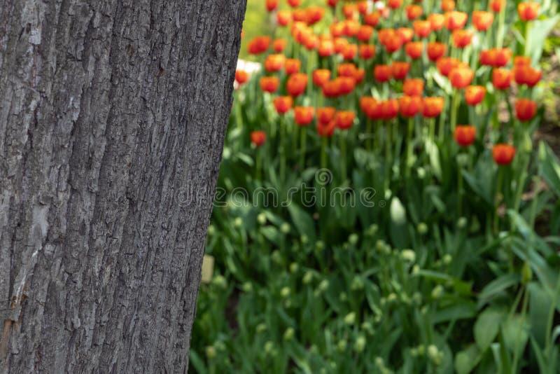 La struttura della corteccia di albero su un fondo vago dei tulipani arancio immagine stock