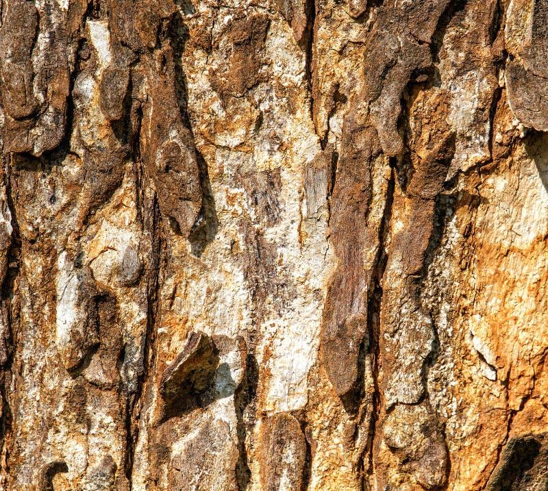 La struttura della corteccia di vecchio albero con le crepe e gli errori Struttura di legno fotografie stock