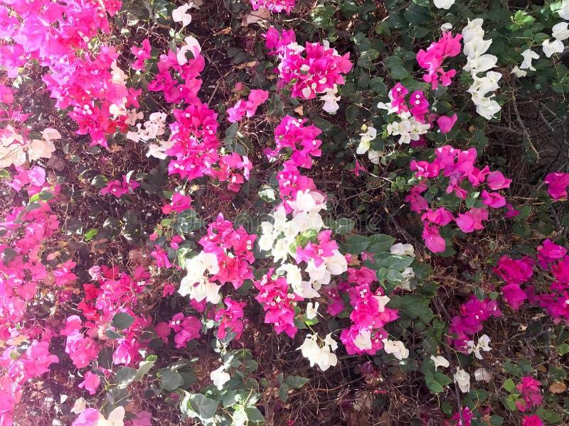 La struttura di grande bello arbusto fertile, di una pianta tropicale esotica con i fiori bianchi e porpora, rosa con i petali de fotografie stock