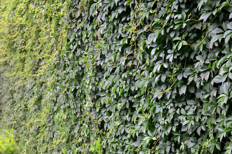 La struttura di molte viti verdi di fioritura dall'edera selvatica che coprono un calcestruzzo wal fotografia stock libera da diritti