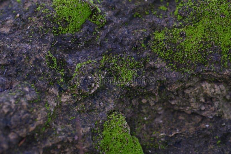 la struttura di muschio verde si sviluppa sull'immagine di sfondo della superficie della roccia fotografie stock libere da diritti