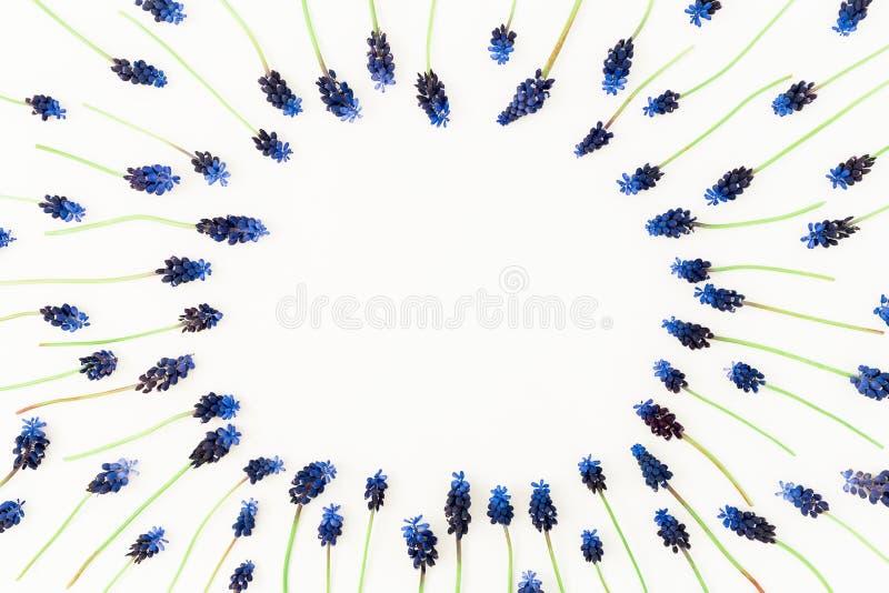 La struttura rotonda con il muscari blu fiorisce su fondo bianco Disposizione piana, vista superiore Composizione in tempo di pri fotografia stock libera da diritti