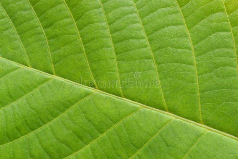 La struttura veiny della foglia verde si ? chiusa su fotografie stock