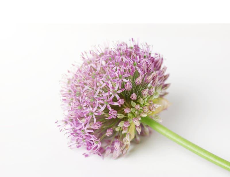 La suavidad enfocó el allium púrpura floreciente hermoso, flor de la cebolla aislada en un fondo blanco, fotos de archivo