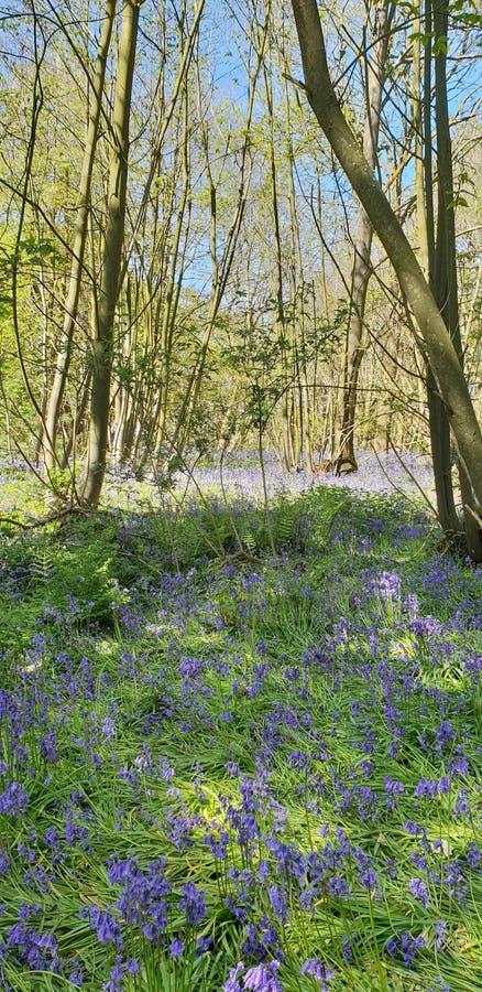 La Suffolk blu di legni di Bell immagini stock