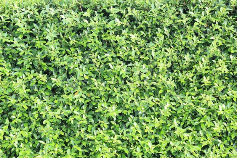 Download La Superficie Cubierta Con La Hiedra Verde Se Va Como Textur Del Fondo Imagen de archivo - Imagen de travieso, verde: 41921775