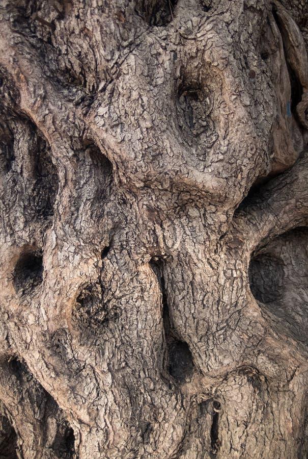 La surface du tronc de l'olivier photographie stock