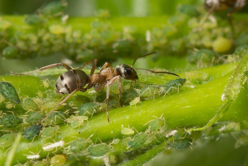 La symbiose des fourmis et des aphis Fourmi tendant son troupeau des aphis image libre de droits