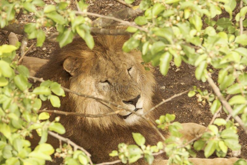 La tête d'un lion qui somnole tranquillement sous les branches d'un arbre photographie stock