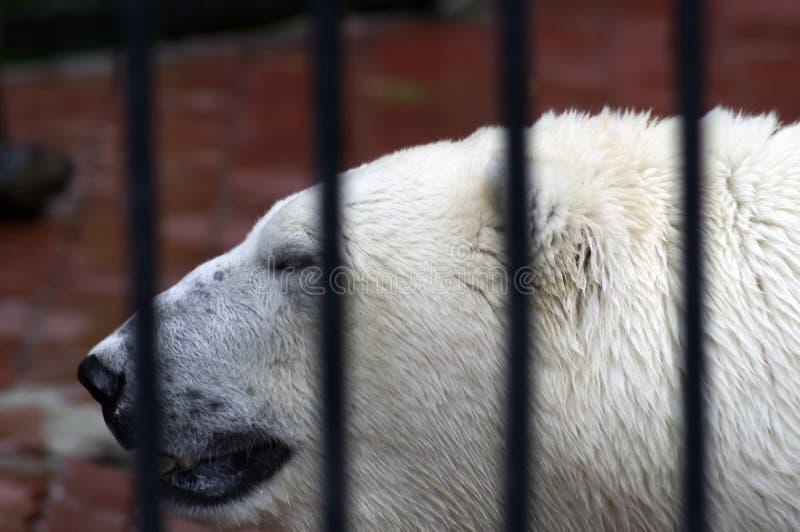 La tête de l'ours blanc avec ses yeux entrebâillés et rétrécis de bouche photos stock