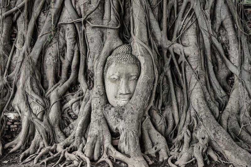 La tête de la statue de Bouddha dans l'arbre s'enracine image libre de droits