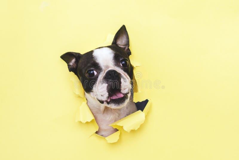 La tête de la race Boston Terrier de chien jetant un coup d'oeil par le trou en papier jaune images libres de droits