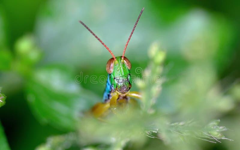 La tête de sauterelle a émergé photos stock