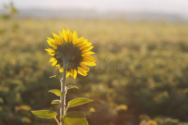 La tête de tournesol a tourné vers le soleil pendant le matin photo libre de droits