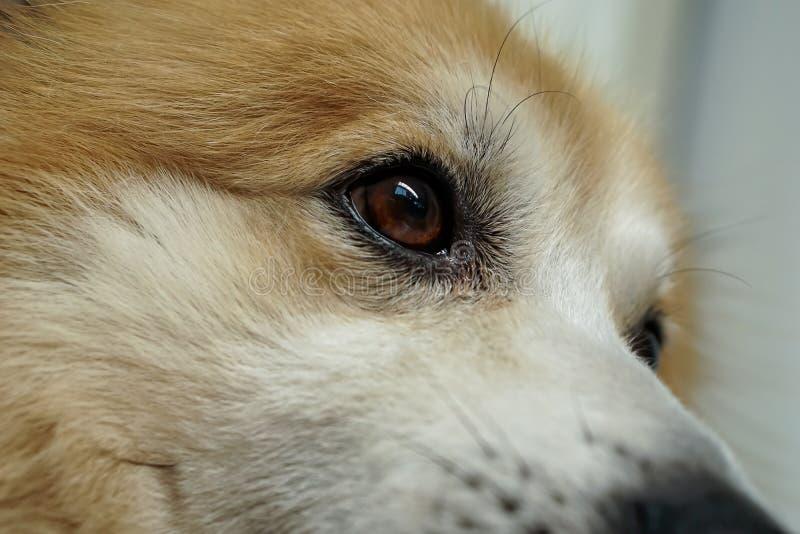 La tête et les yeux des chiens sa fourrure est brun et blanc Il est distrait photo stock