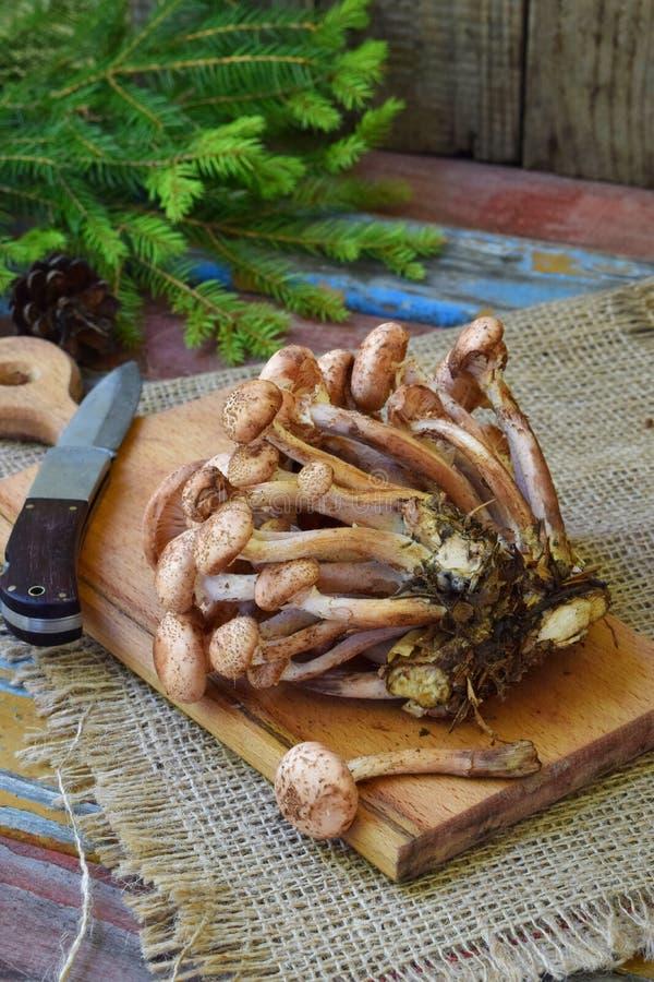 La for?t sauvage r?pand des agarics de miel sur le fond en bois Mellea d'Armillaria Champignon de Hallimasch de gel de miel de co photos stock