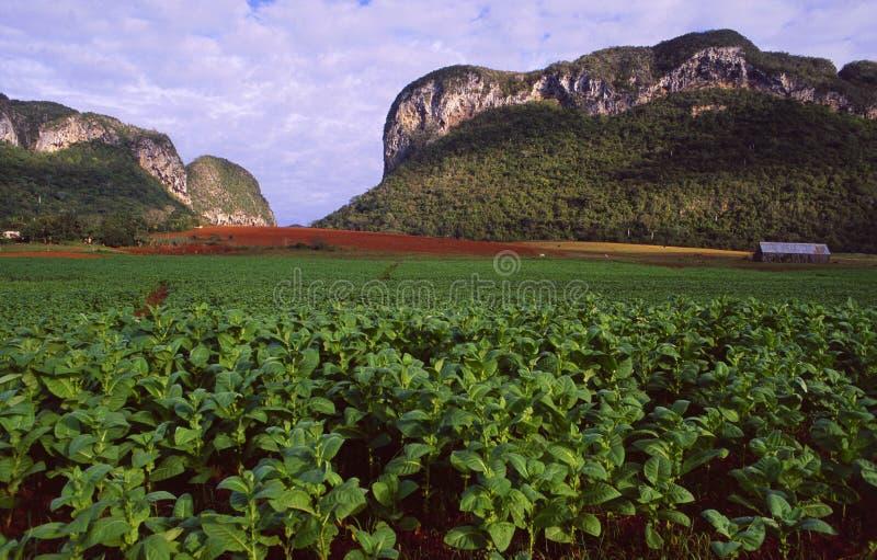 La tabacco-plantación cubana en Vinales/Pinar del Rio sourrounded fotografía de archivo