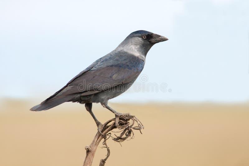 La taccola (monedula del Corvus) immagine stock