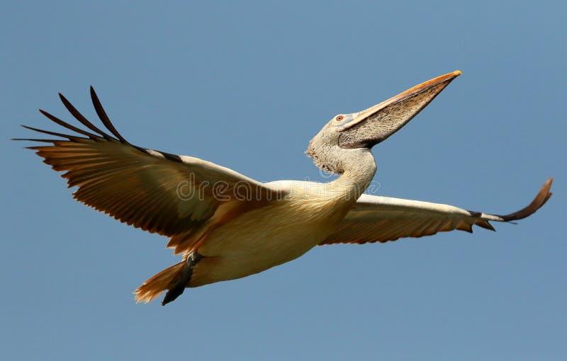 La tache a affiché le pélican en vol, philippensis de Pelecanus, réserve d'oiseaux de Ranganathittu, Karnataka, Inde image libre de droits