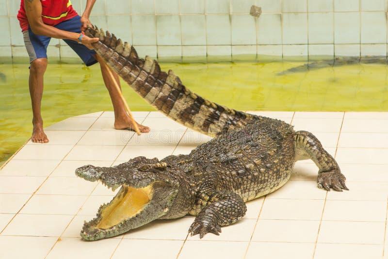 La Tailandia, manifestazione dello zoo dei coccodrilli all'azienda agricola ed allo zoo del coccodrillo fotografie stock libere da diritti
