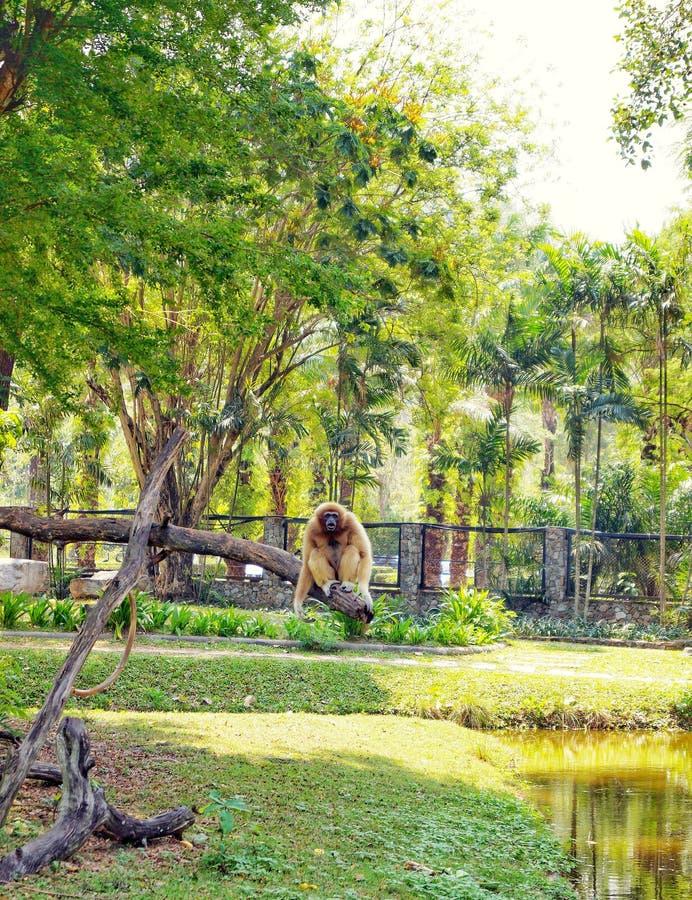 La Tailandia, Pattaya, zoo di Khao Kheo, natura, Asia, scimmia, albero, acqua, pianta fotografia stock libera da diritti