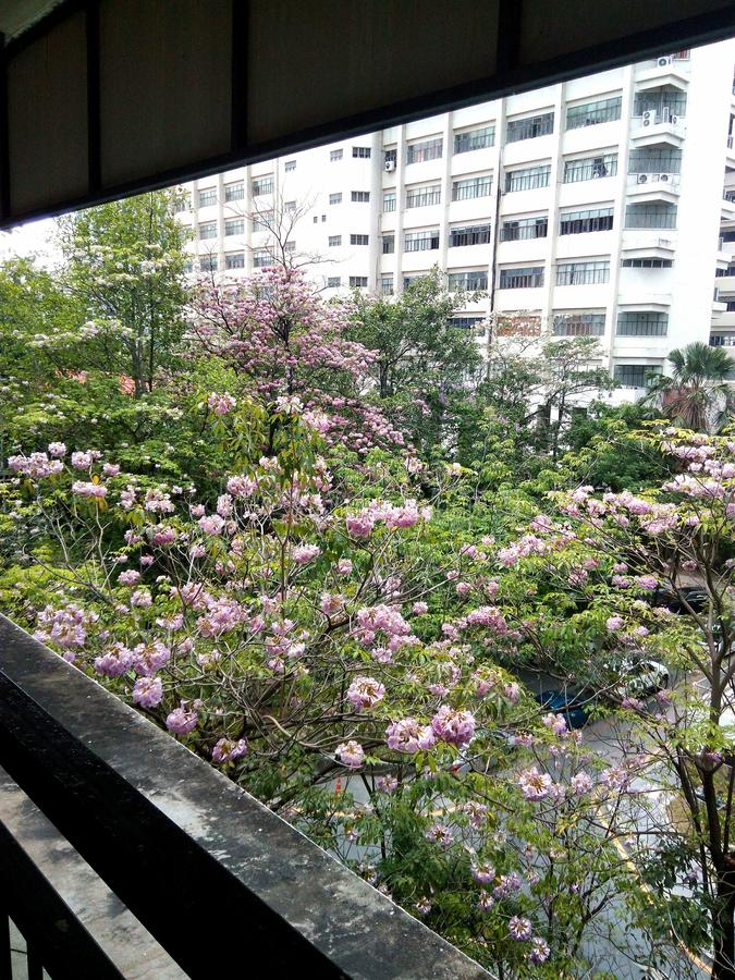 La Tailandia Sakura immagine stock libera da diritti