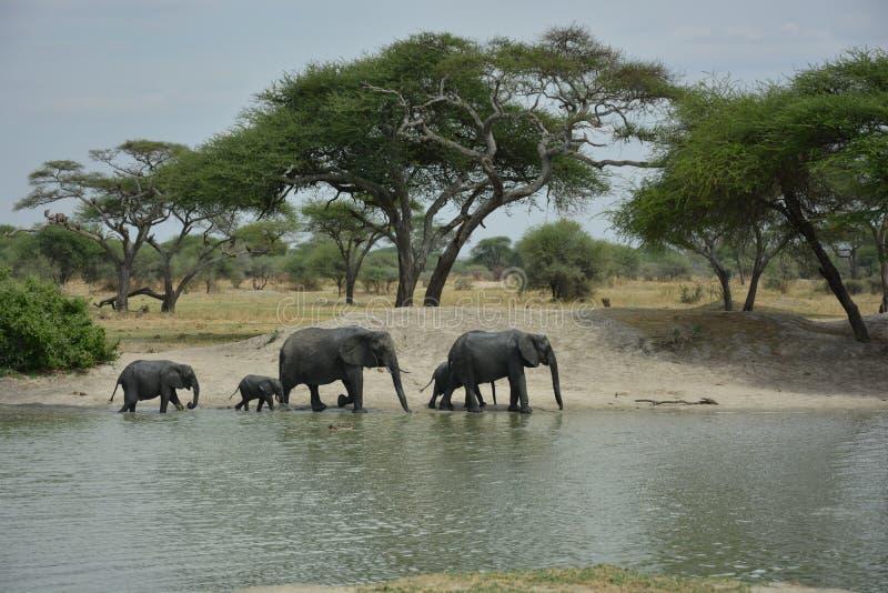 La Tanzania, Africa, fauna selvatica fotografia stock libera da diritti