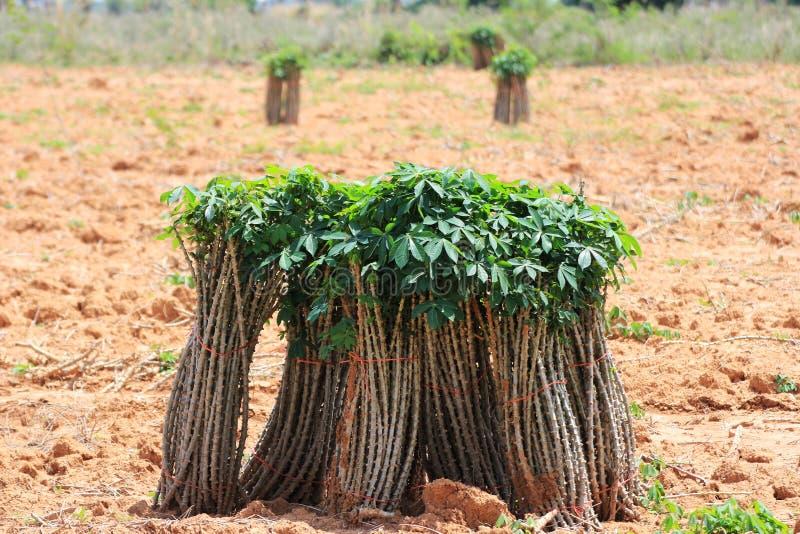 La tapioca della manioca attacca su terra pronta per la piantagione fotografie stock libere da diritti