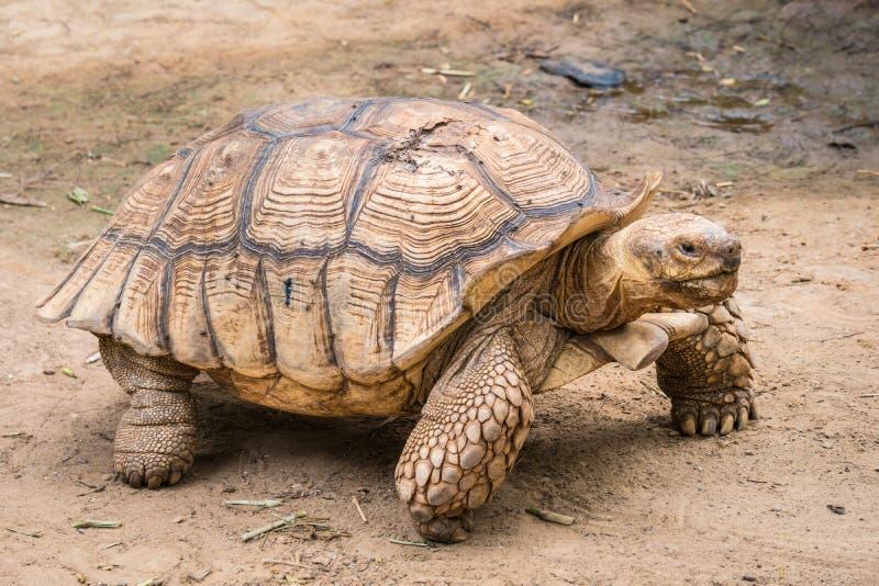 La tartaruga di Galapagos nel moto è una vita animale immagine stock libera da diritti
