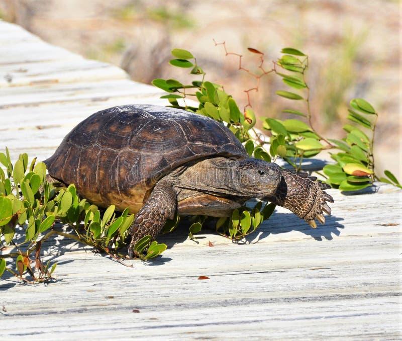 La tartaruga di gopher scavalca la vite che allunga attraverso il sentiero costiero della spiaggia immagini stock