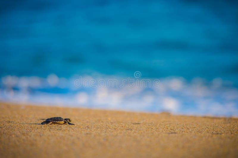 La tartaruga di mare del bambino fa il suo modo di nuovo all'oceano immagine stock