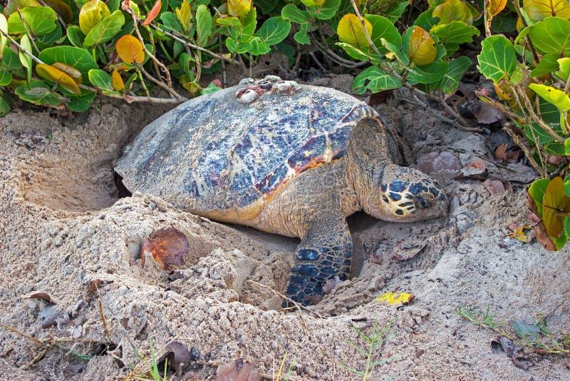 La tartaruga di mare delle Barbados Hawksbill che scava un tutto sulla spiaggia in preparazione del seppellire eggs fotografie stock libere da diritti