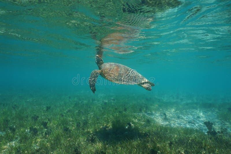 La tartaruga di mare verde subacquea respira la superficie del mare fotografia stock