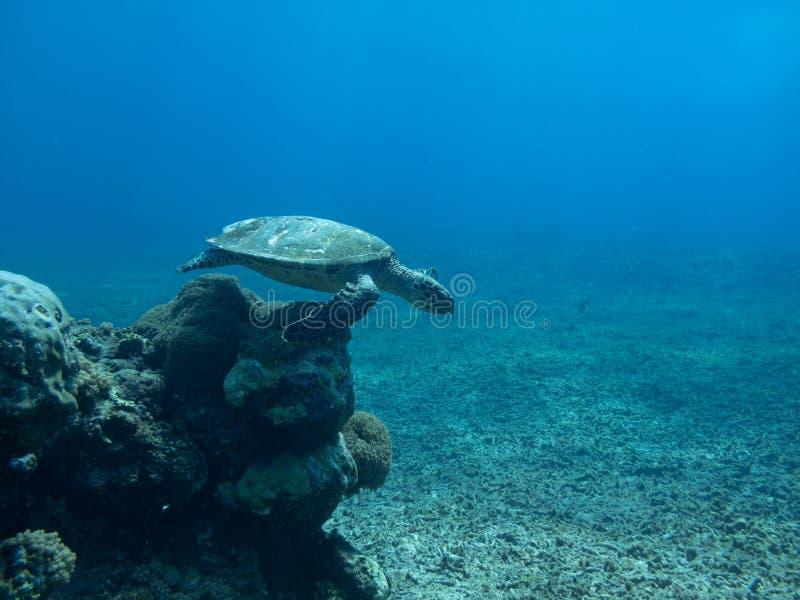 La tartaruga esplora l'oceano blu profondo che sembra saltare immagini stock