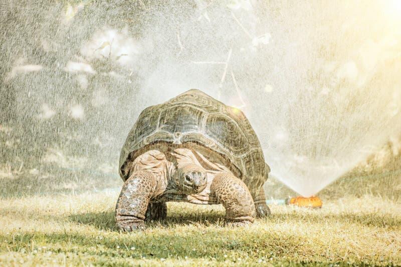 La tartaruga gigante di Galapagos e lo spruzzatore dell'acqua, sole rays fotografia stock libera da diritti