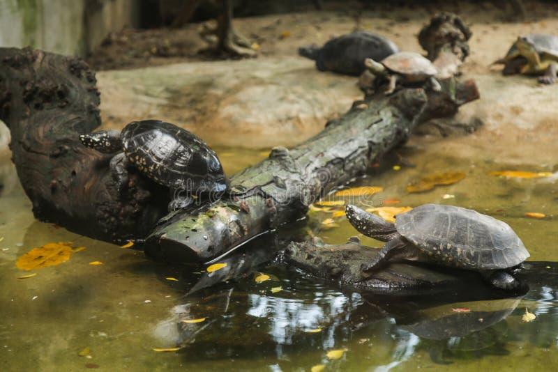 La tartaruga macchiata dello stagno del nero della tartaruga dello stagno, tartaruga macchiata indiana è endemico d'acqua dolce d fotografia stock