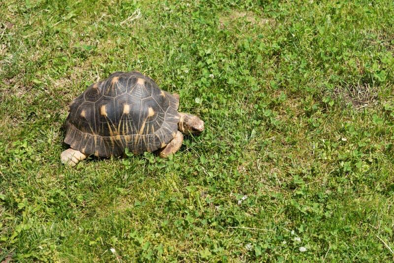 La tartaruga striscia nell'erba verde fotografia stock libera da diritti