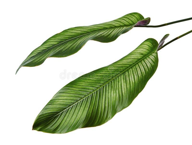 La tela a rayas Calathea del ornata de Calathea se va, follaje tropical aislado en el fondo blanco, con la trayectoria de recorte fotografía de archivo libre de regalías