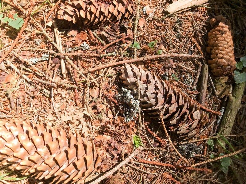 La terra, le pigne dell'abete rosso e le lingottiere marroni naturali e copiano il posto nella foresta di conifere contro i prece immagini stock libere da diritti