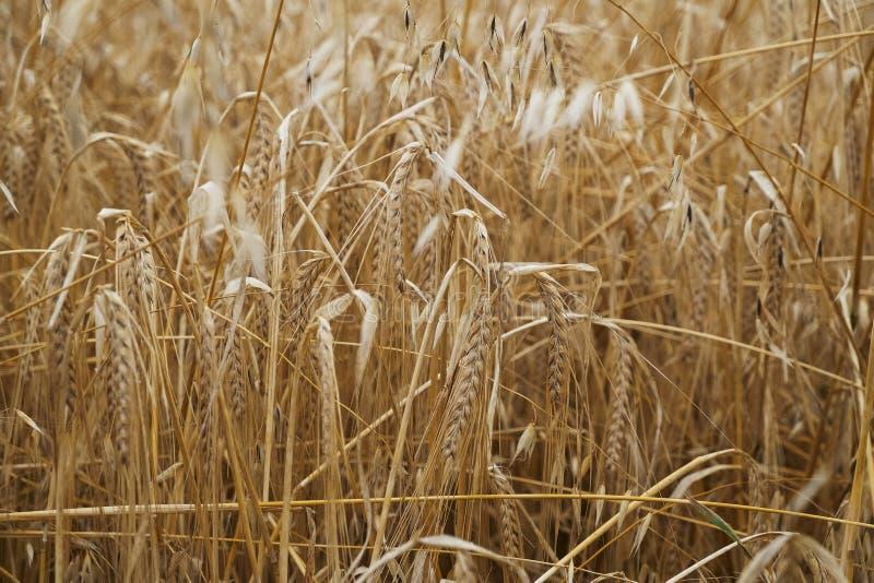 La terre croissante de blé d'or d'herbe de gisement de pain image libre de droits