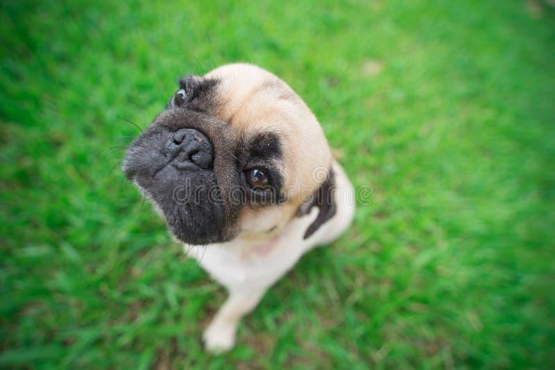 La testa degli occhi del cane del carlino sembra divertente fotografia stock