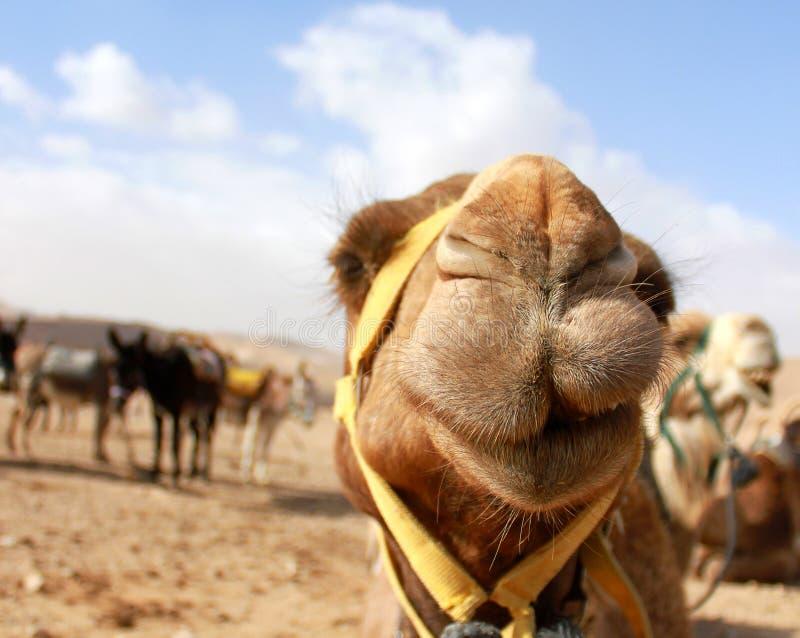 La testa del cammello nel deserto con l'espressione divertente immagini stock