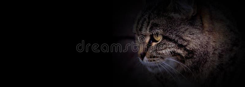 La testa del gatto con fondo nero fotografie stock libere da diritti