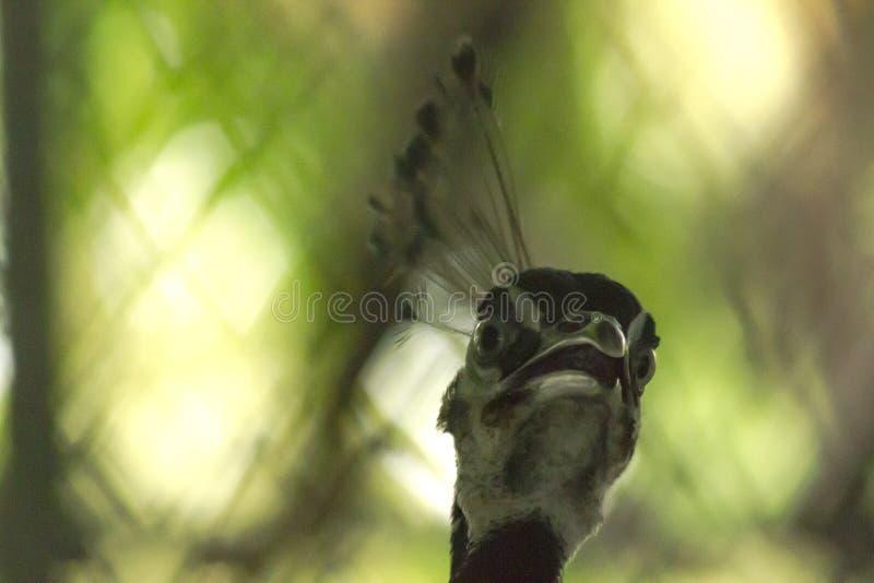 La testa del pavone ha cresta sul suo dirige la diffusione fotografia stock libera da diritti