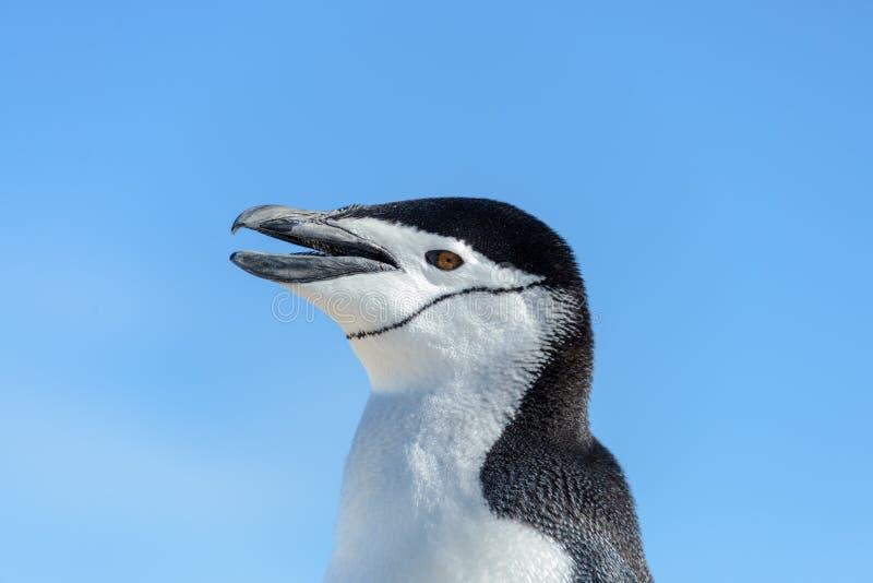 La testa del pinguino di sottogola con la fine aperta del becco su in Antartide immagini stock