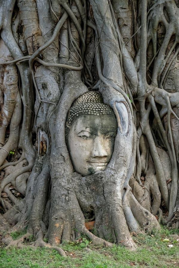 La testa del ` s di Buddha nell'albero di Bodhi si pianta a Wat Mahathat, Phra Nakorn Sri Ayutthaya, Tailandia Un sito del patrim immagini stock